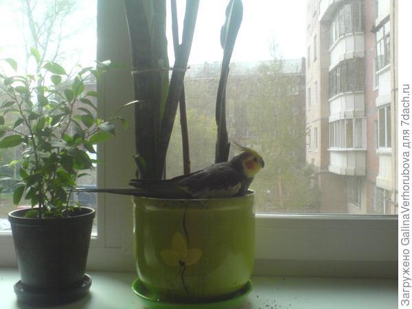 Он забирается в горшок, ведёт себя там, как в своём собственном гнезде