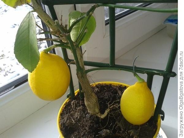 Маленький лимончик