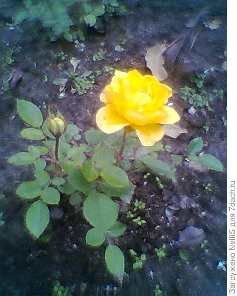 роза желтая мини