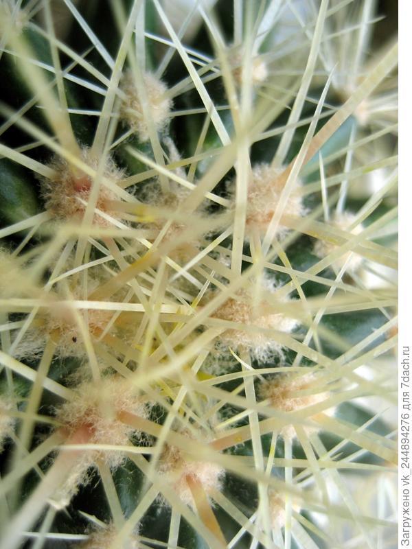 Верхушка круглого кактуса