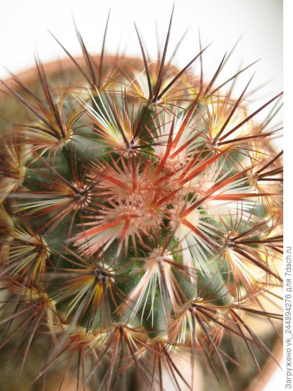 Кактусы: посадка и пересадка - Gardenia ru