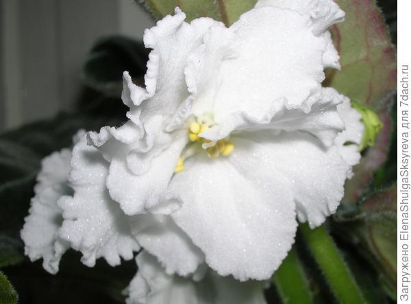 Белая фиалка