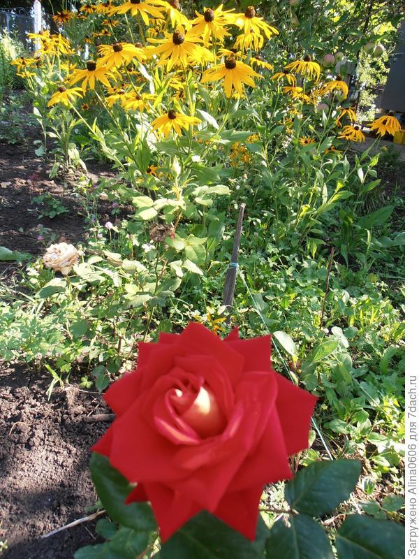 чайно-гибридная роза Блэк Мэджик