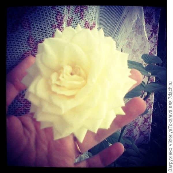 Розочка, которая цветет даже зимой.