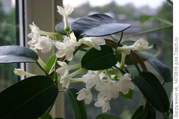 мадагаскарский жасмин