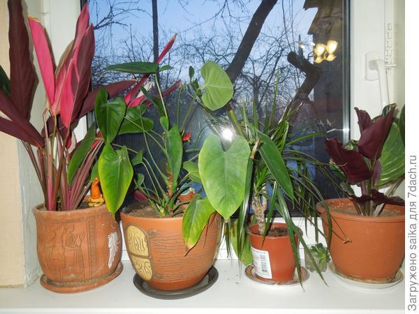 Слева на право: Строманта, Антуриум, Драцена, Калатея