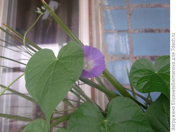 Цветочек вьюн