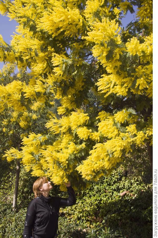 Мимоза из парка Гуэль... Февраль ...запах...