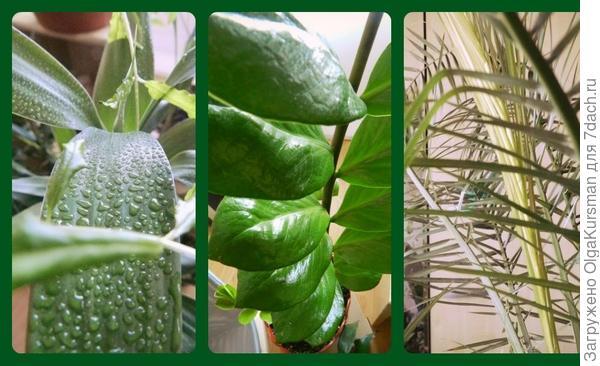 бамбук, финиковая пальма, замиокулькас