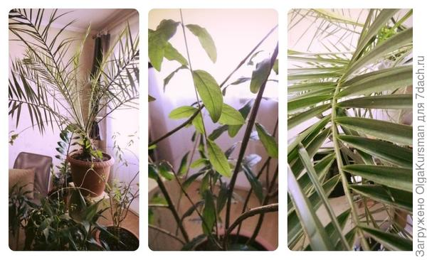финиковая пальма, гранат