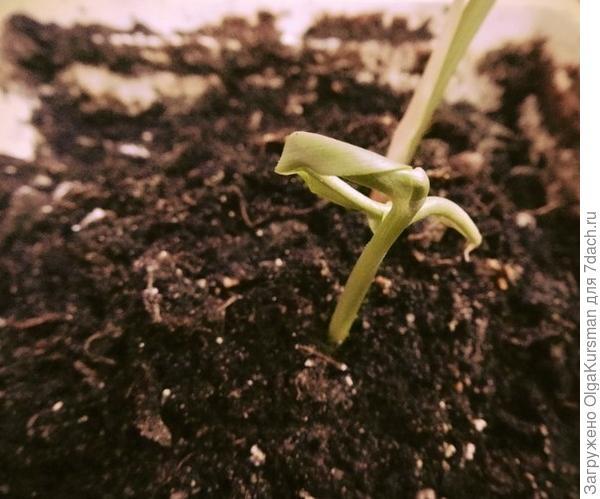 прорастающий имбирь