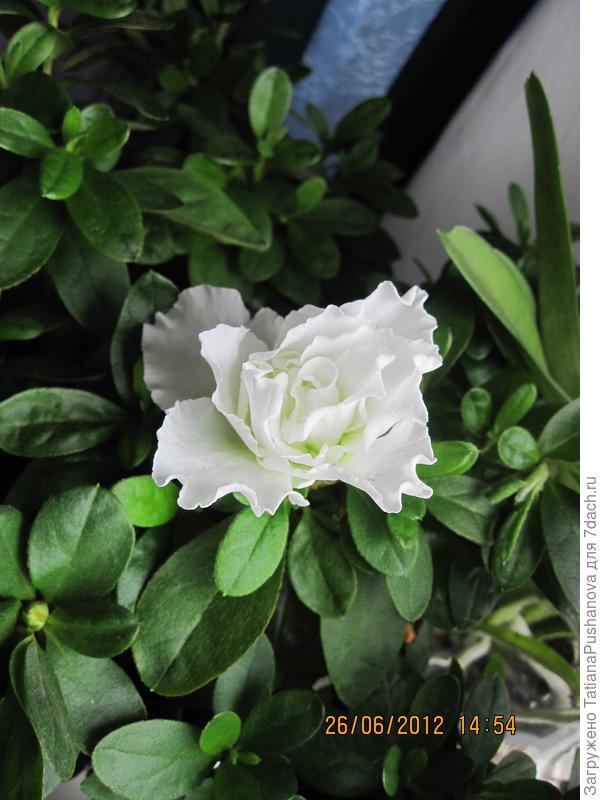 Первый цветок, поселившейся в моём доме