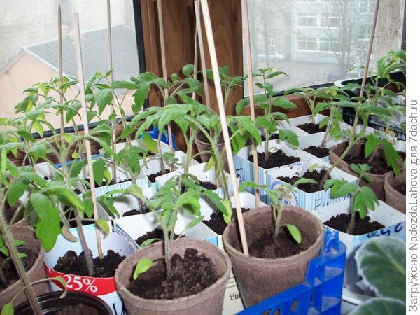 начало  сезона для помидор - рассада 2-х недельная