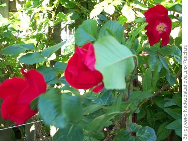 роза очень высокая большой куст
