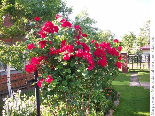 роза сорта Робуста