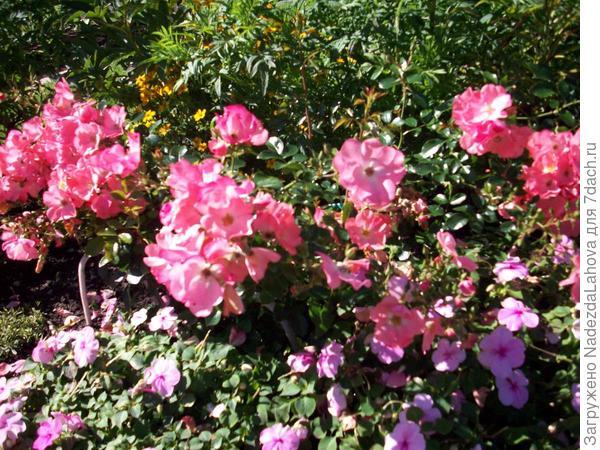 роза сорта Ангел