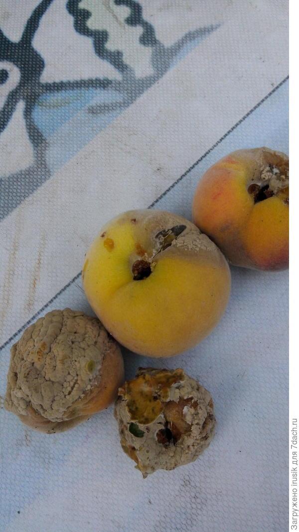 Почему гниют плоды персика?