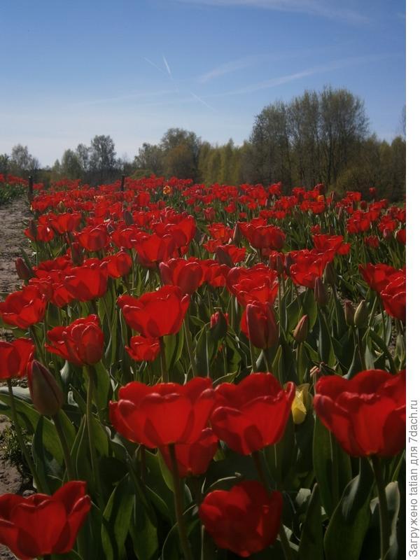 Тюльпаны на огороде.