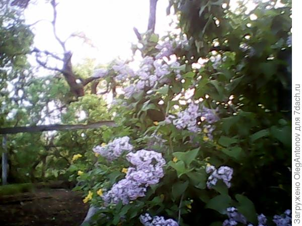 вот такая светлая сирень растет у меня в саду