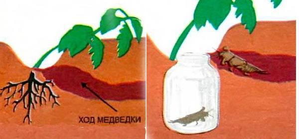 Ловушка для медведки, фото с сайта liveinternet.ru, автор не указан