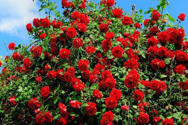 Нельзя забывать, что розы - это королевы