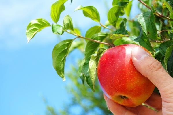 Снимать яблоко с дерева нужно аккуратно