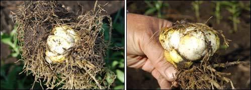 лилии луковица