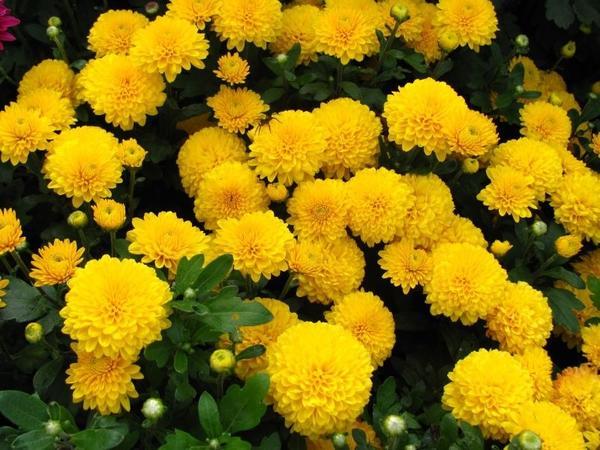 Осенние цветы: название, описание, фото