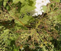 поражение листоедом