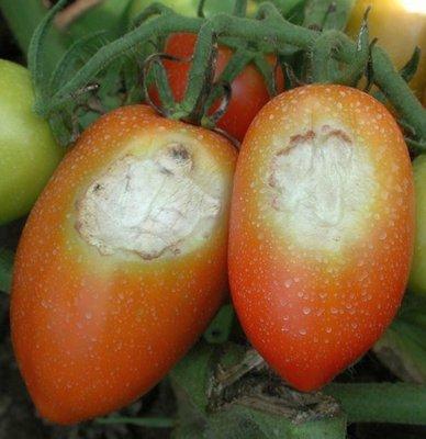 Солнечный ожог плодов томата