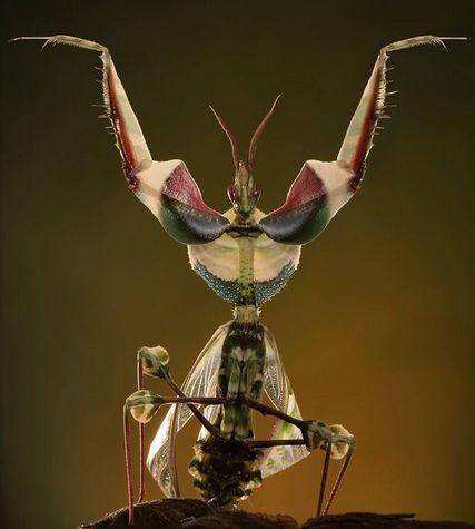 """Богомол """"Дьявольский цветок"""", фото с сайта wildwildworld.net.ua"""