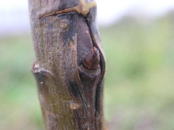 Окулировка. Фото с сайта maja-dacha.ru