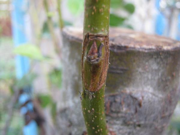 Окулировка груша-груша, фото с сайта forum.vinograd.info, автор Сергей Иваныч