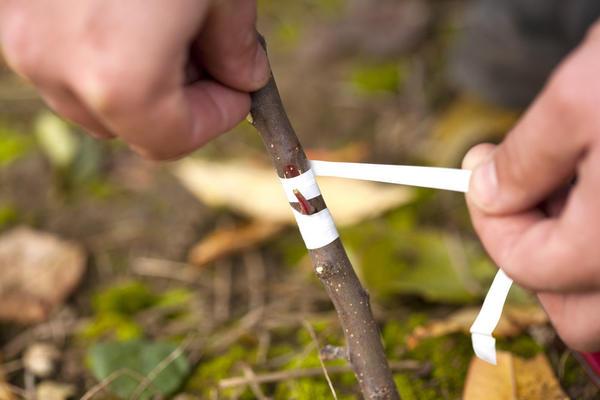 Окулировка плодовых деревьев видео обучение