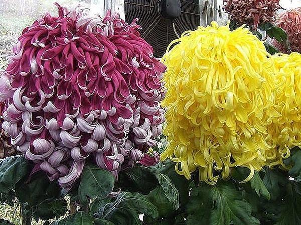 Помогите узнать, что это за сорт хризантемы