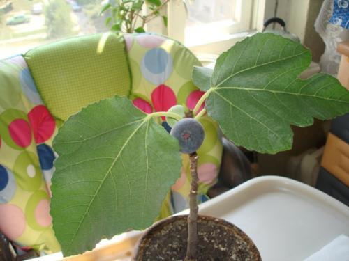 Инжир, фото с сайта plantus.ru, автор Flower