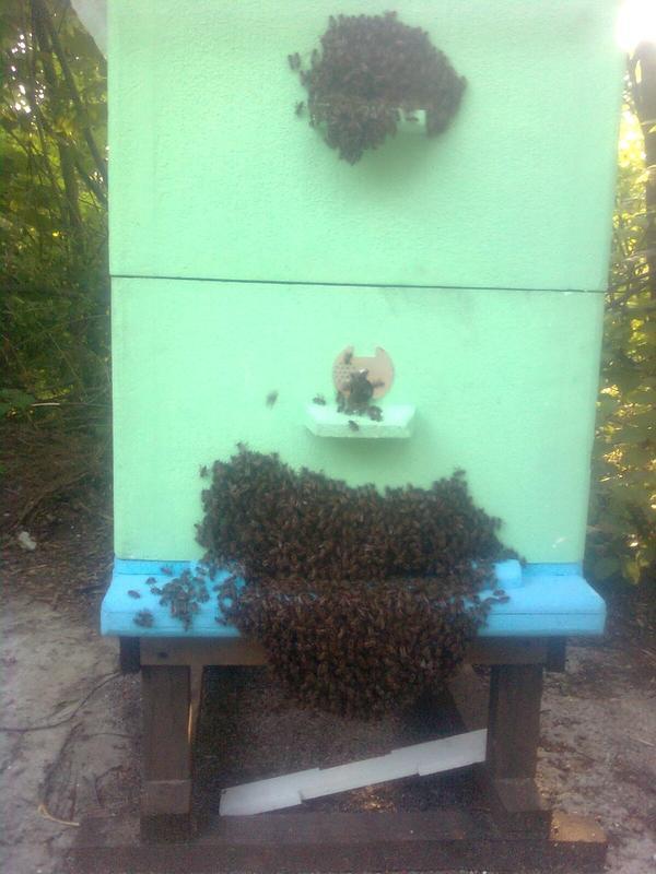Вот так пчёлы роятся