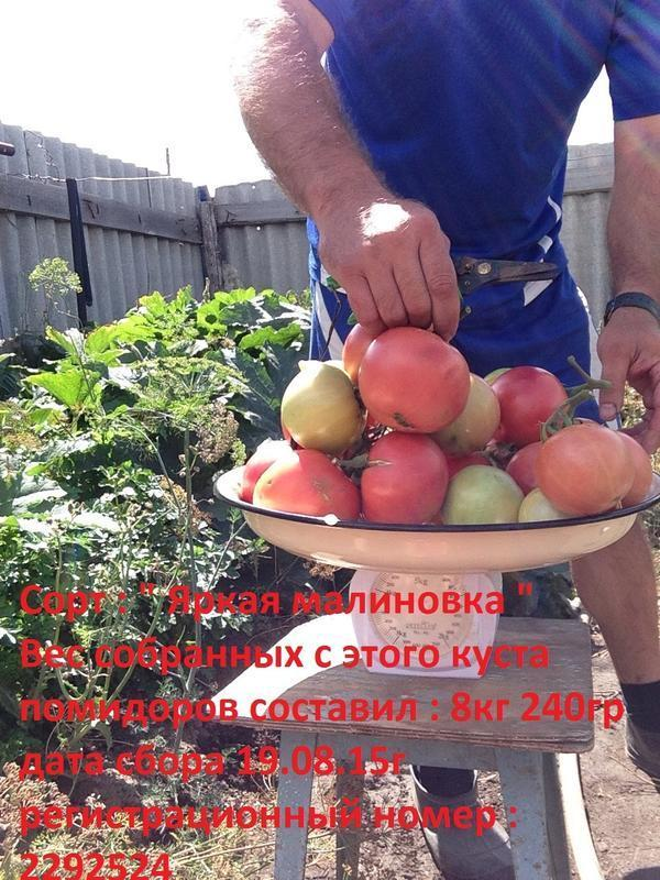 Самый урожайный куст. Александр Морозов, Оренбург