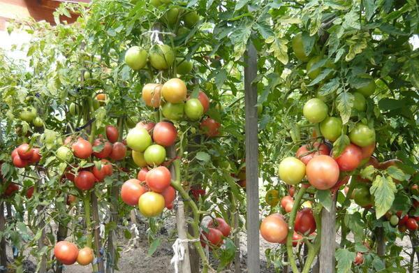 Куст помидоров Пузановой Тамары