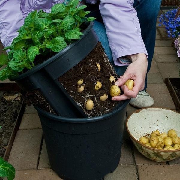 Ведро для выращивания картофеля