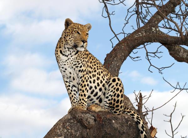 Символы дня: леопард, лев, готовящийся к прыжку барс
