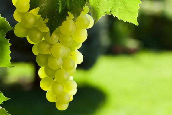 Символы дня: виноградная гроздь, колокола