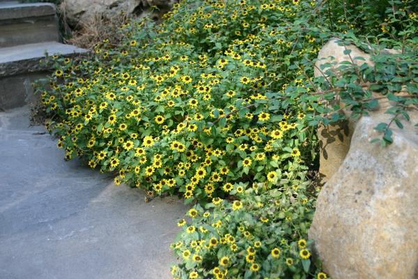 Санвиталия распростертая (Sanvitalia procumbens)
