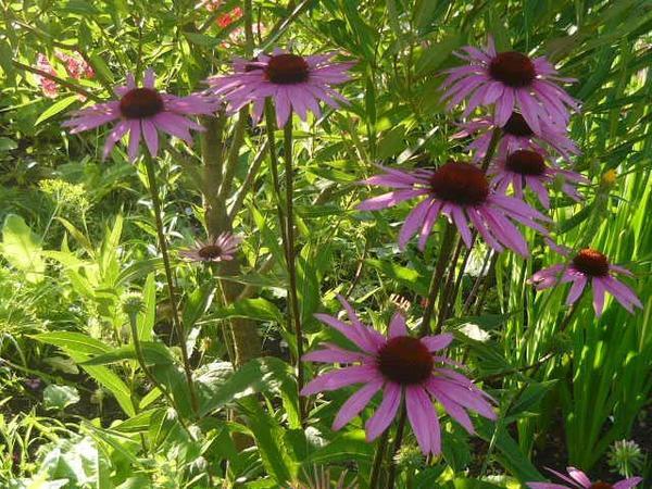 Эхинацея - шикарный цветок!!!