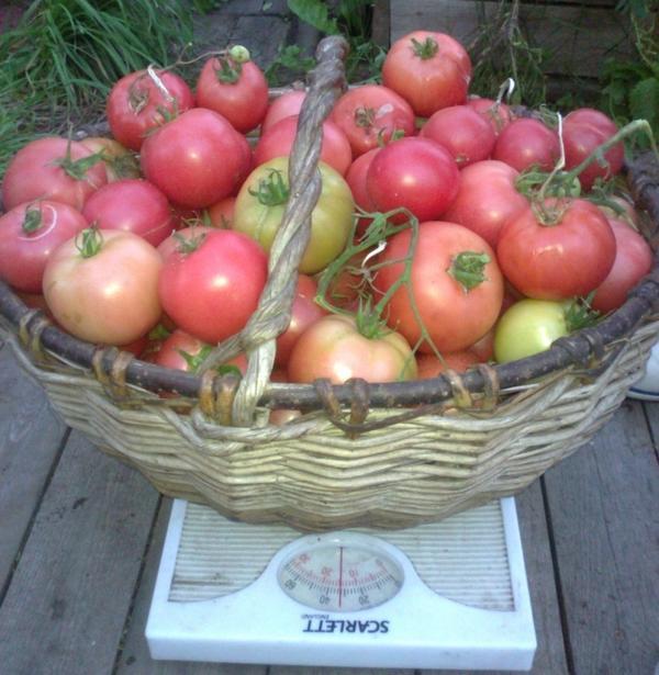 «Самый Урожайный куст» – 3 место –  Добрынина Любовь, Архангельская область