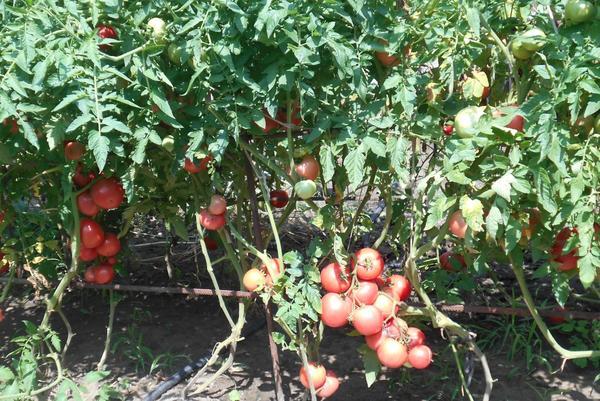 «Самый Урожайный куст» – 2 место –  Шлейгель Анна, Новосибирская область