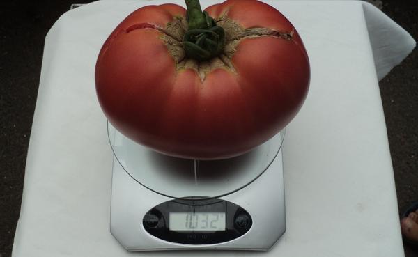 «Самый крупный помидор» – 3 место –  Яковлева Ирина, г. Курск