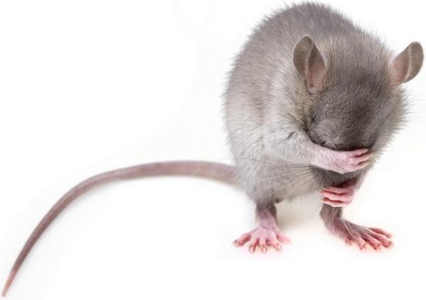 Какой отпугиватель мышей и крыс лучше?