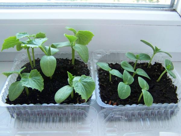 Пластиковый контейнер удобен и для проращивания семян огурчиков - крышку закрыл - влажность поддерживается высокая, семечко может у вас вообще быть сверху, на почве - увидите весь процесс прорастания)) И для фотографий одинаковые контейнеры выгодны, если речь пойдет о 2-3 культурах.