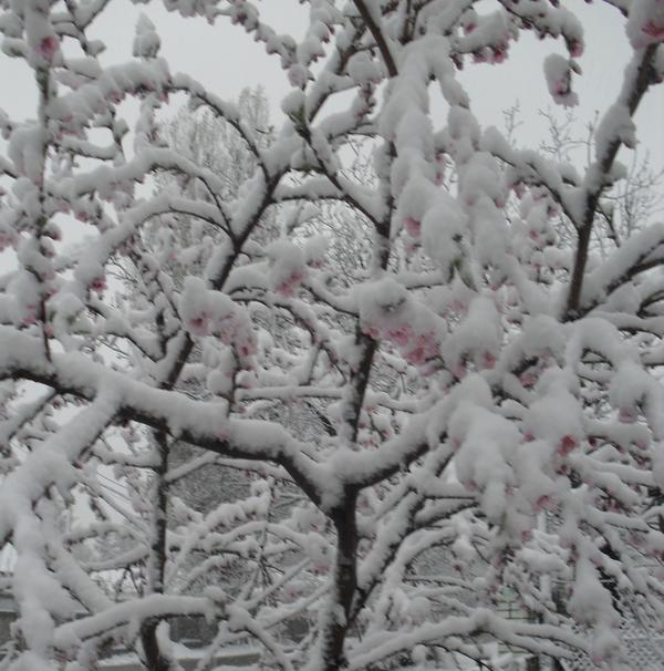 Апрель 2017 - персик в цвету под снегом